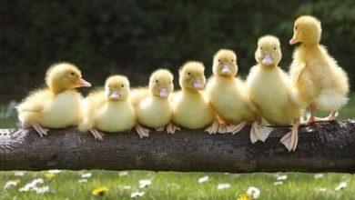 cuidados de los patos